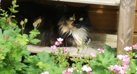 Long haired Tortoiseshell cat Madam Fluff, in inspirational romance author Autumn Macarthur's garden