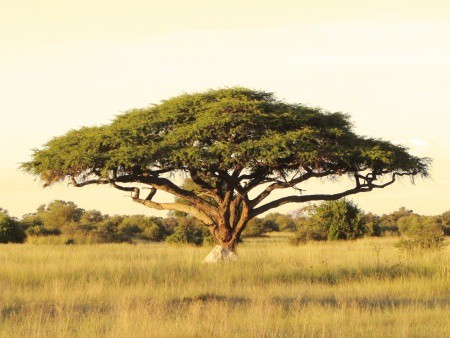 16296414_s - Acacia Tree - 123rf - Purchased (1)